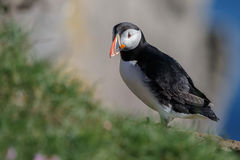 Puffin with a nice background Royalty Free Stock Image