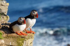 Puffin with a nice background Royalty Free Stock Photos