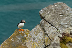 Puffin in Norway. Shot while the breeding season Stock Photo