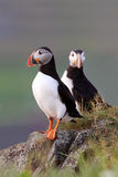 Puffin Pair Royalty Free Stock Photo