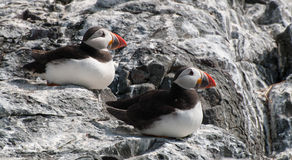 Puffin Pair Stock Image