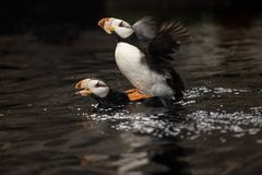 A puffin pair mating in spring stock image