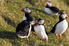 Puffins. A pair of puffins in Iceland royalty free stock images
