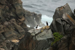 Puffin Paradise. Atlantic Puffins on cliffs overlooking the Atlantic Ocean in Newfoundland, Canada Royalty Free Stock Image