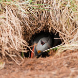 Puffin peeping from burrow. An Atlantic Puffin peeping from it's nesting burrow royalty free stock photos