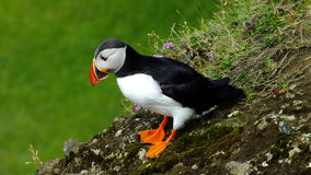 Icelandic Puffin Stock Images