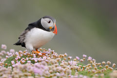 Puffin with pink. Puffin walking in Pink thrift Stock Photos