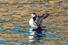Puffin Portrait in brittany France. Sept iles stock images