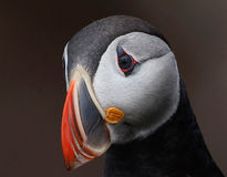 Puffin Portrait Royalty Free Stock Image