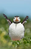 Puffin Royalty Free Stock Photography