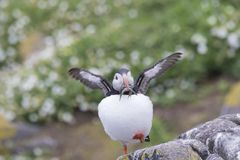 Puffin portrait with fish, flying, nest Stock Image