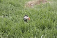Puffin portrait fishing nesting Royalty Free Stock Photo