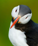 Puffin portrait with green background Royalty Free Stock Photo