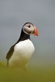 Puffin portrait Royalty Free Stock Photo