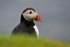 Puffin portrait Stock Images