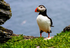 Puffin portrait Royalty Free Stock Images