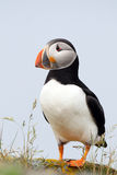 Puffin Pose. Atlantic Puffin on a cliff in Newfoundland, Canada Stock Photo