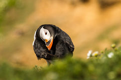 Puffin preening feathers Royalty Free Stock Image