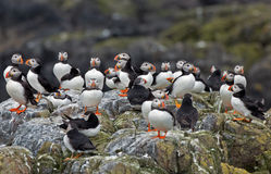 Puffin. S on a rock at Innerfarne Royalty Free Stock Photography