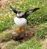 Puffin ready for flight Stock Photography