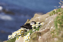 Puffin resting among daisies. On the cliff edge Stock Image