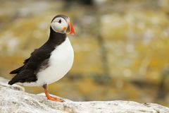 Puffin on a rock Stock Image