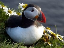 Puffin on a rock royalty free stock photo