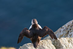 Puffin on a rock Stock Photography