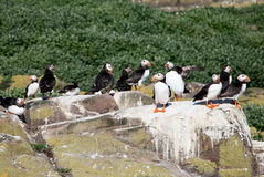 Puffin Rock. Taken in Northumberland, England on the Farne Islands during July Royalty Free Stock Photo