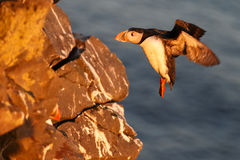 Puffin on the rocks at latrabjarg Royalty Free Stock Images
