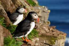 Puffin on the rocks at latrabjarg Stock Photos
