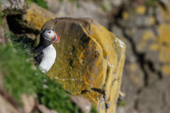 Puffin on the rocks at latrabjarg Stock Photography