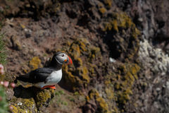 Puffin on the rocks at latrabjarg Royalty Free Stock Photography