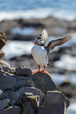 Puffin on the rocks at latrabjarg Royalty Free Stock Photo