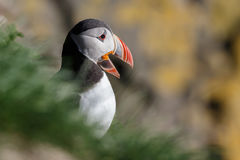 Puffin on the rocks at latrabjarg Stock Images