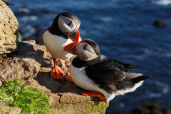 Puffin on the rocks at latrabjarg Stock Photo