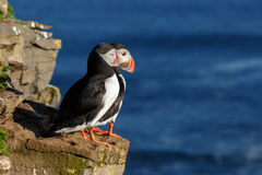 Puffin on the rocks at latrabjarg Stock Image