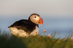 Puffin on the rocks at latrabjarg Royalty Free Stock Image