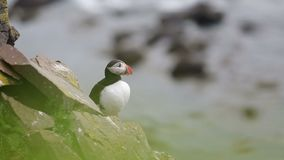 Puffin on the rocks at latrabjarg Iceland on a sunny day stock video footage
