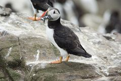Puffin on Rocks with Sand Eels. Whole picture of a Puffin on rocks with sand eels in it's beak Royalty Free Stock Photo