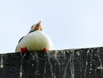 Puffin on a roof Stock Images