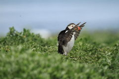 Puffin on the run with wings up Royalty Free Stock Photography