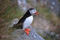 The puffin on Runde. Norway Stock Images