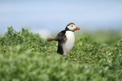 Puffin running  Royalty Free Stock Image