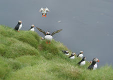Puffin runway Royalty Free Stock Images