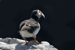Puffin with sand eels Stock Image