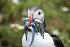 Puffin with sand eels. In its beak Royalty Free Stock Photography