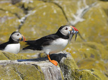 Puffin with Sand eels Royalty Free Stock Photos