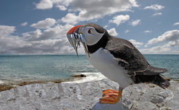 Puffin with sand Eels Stock Images