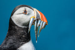 Puffin with Sand Eels Stock Photography